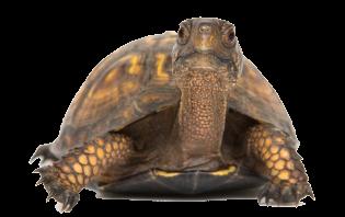 Laché de tortues sur les plages de l'Ile de Ré